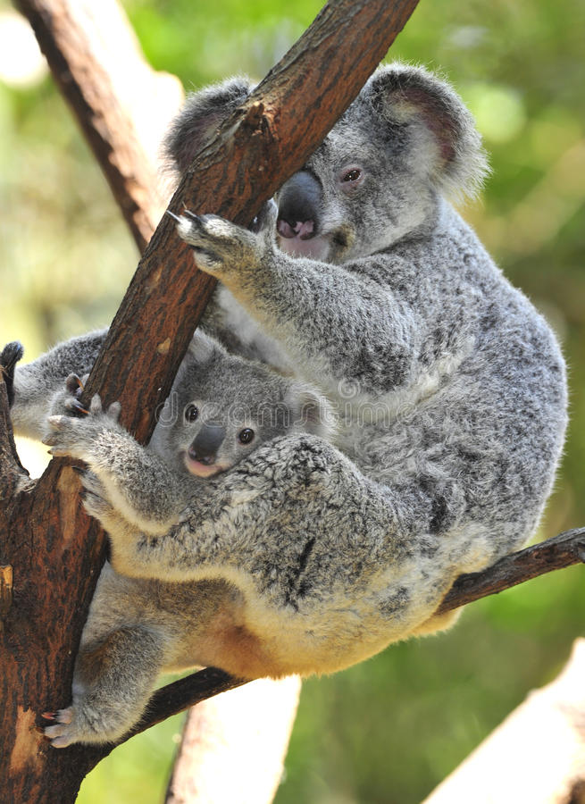 Australian koala bear with cute baby australia stock image