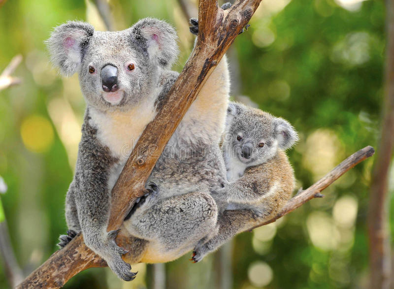 Australian koala bear with cute baby australia stock images