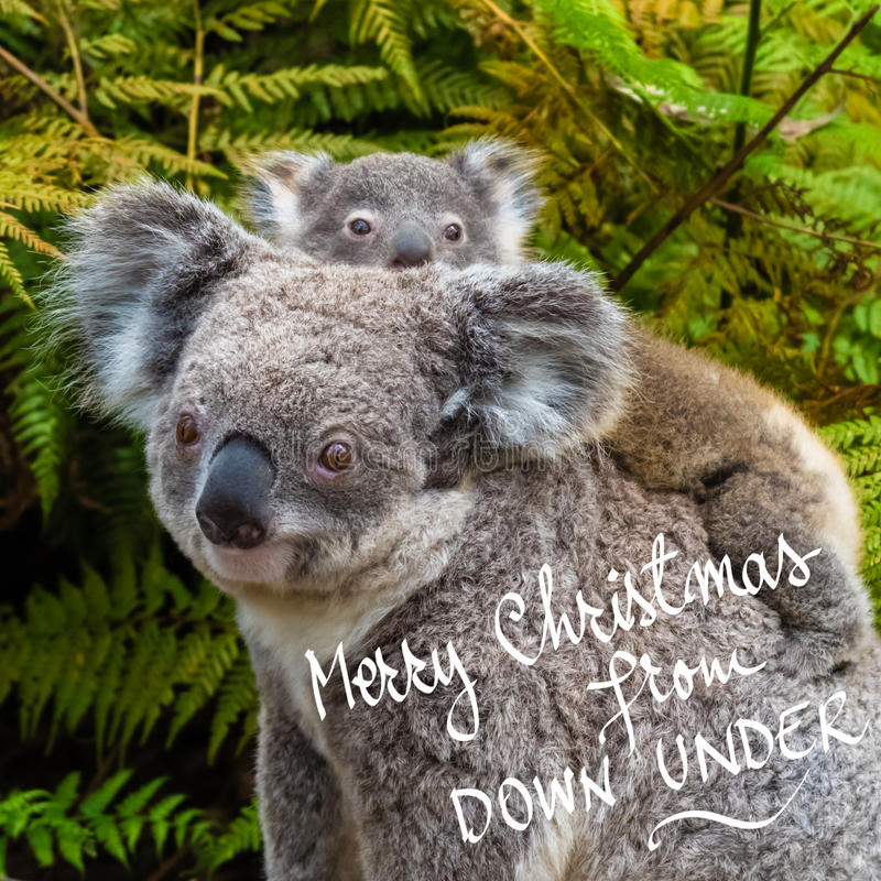 Australian koala bear native animal with baby and Merry Christmas From Down Under text. Australian koala bear native animal with baby on the back and Merry royalty free stock photos