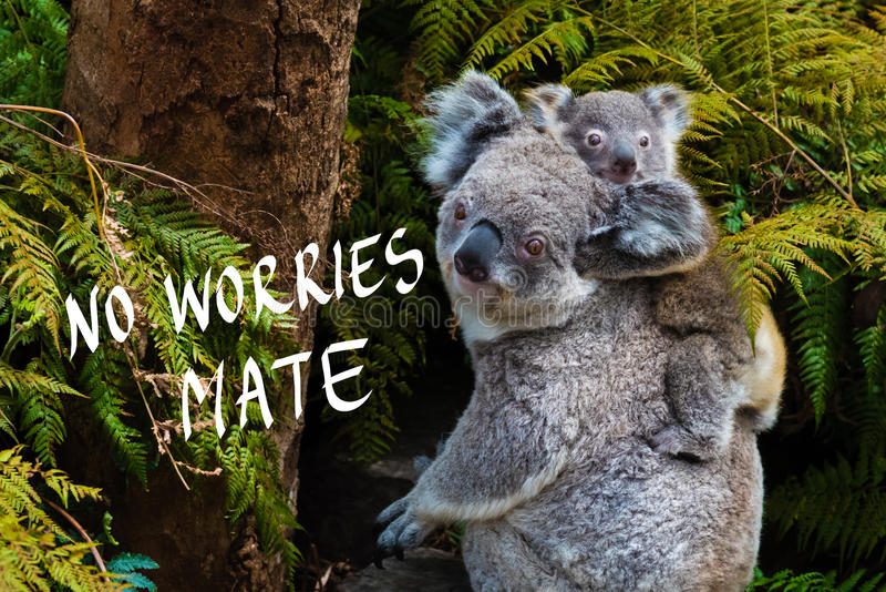 Australian koala bear native animal with baby and No Worries mate text. Australian koala bear native animal with baby on the back and No Worries mate text stock images