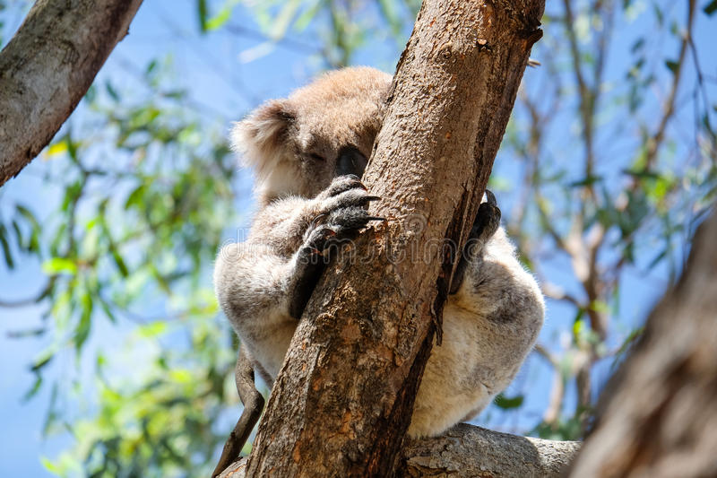 Australian koala between the branches of an eucalyptus tree stock image