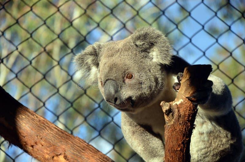 Australian Koala in captivity royalty free stock image