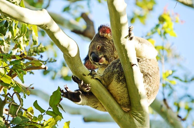Australian koala climbing gum tree eating leaves wild and free. An Australian koala, often referred to as a koala bear, wild and free, climbing a Eucalyptus gum stock photography