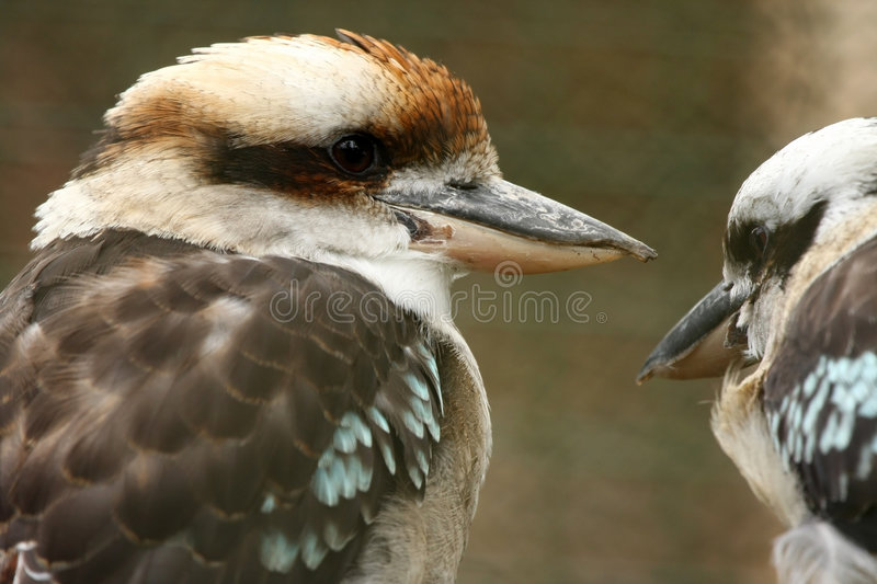 Australian Kookaburra pair stock photos