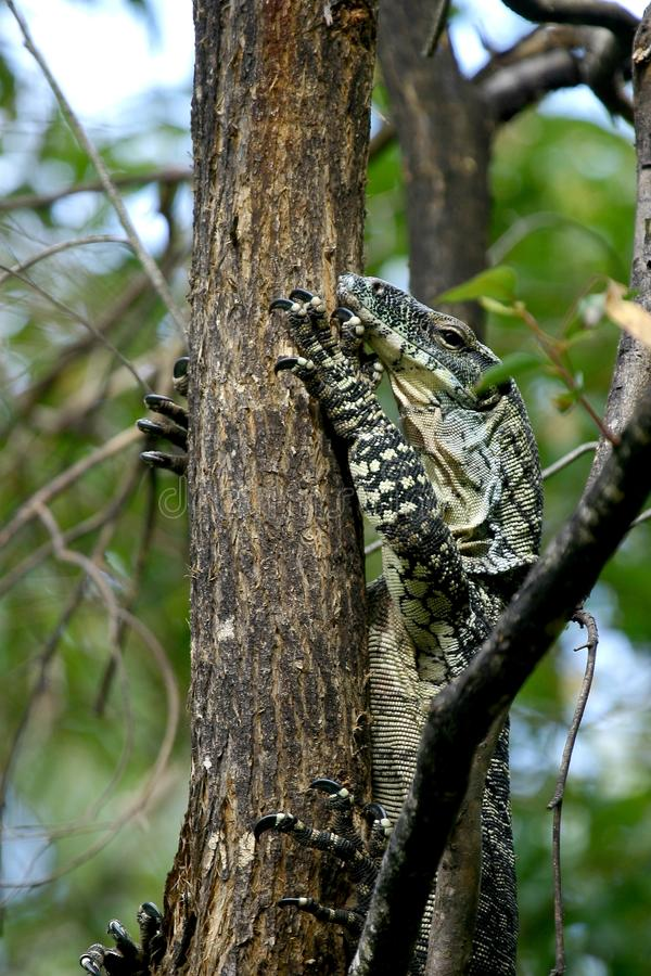 Free Australian Lace Monitor Royalty Free Stock Images - 21955259