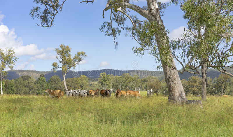 Australian landscape with gum trees and cows. Rural Australian landscape panorama with gum trees and herd of brahman cows for beef cattle royalty free stock photo