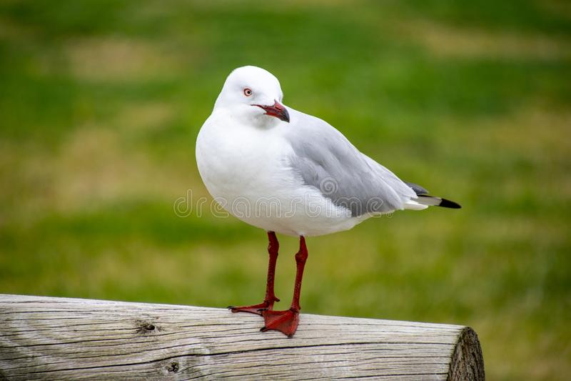 Australian Laridae order Lari seagull. Standing on a post royalty free stock images