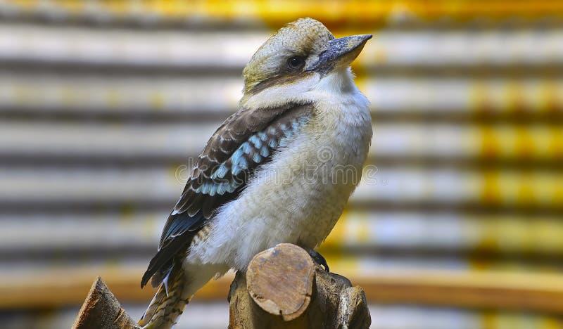 Australian laughing kookaburra stock image