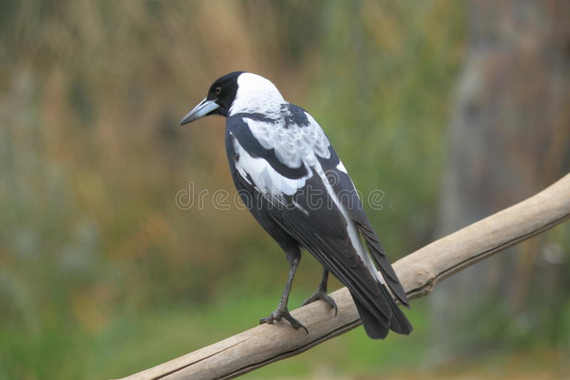 Australian magpie. The australian magpie on the branch royalty free stock photos