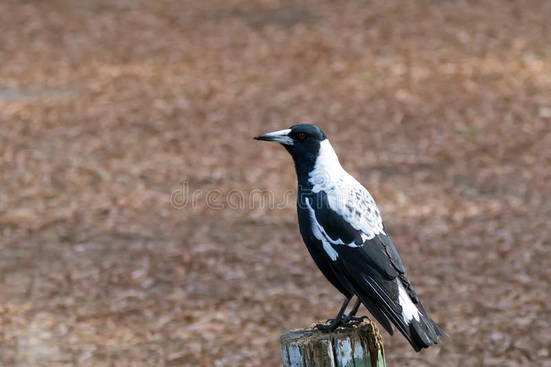 Australian magpie bird in black and white plumage perching on wood during Autumn in Australia. Gymnorhina tibicen stock images