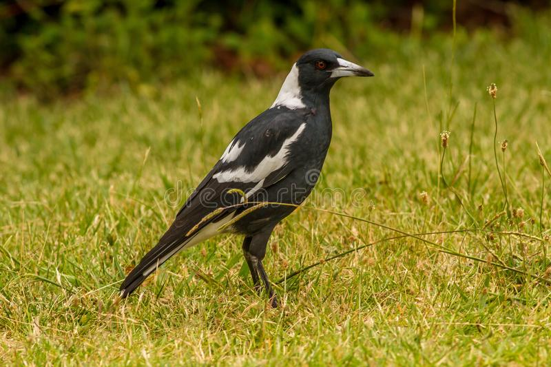 Australian Magpie Cractius Tibicen Canberra royalty free stock photography