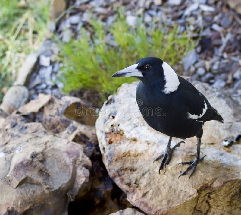 Free Australian Magpie Gymnorhina Tibicen Royalty Free Stock Photo - 9050155