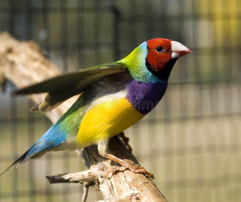 Australian masculino do passarinho Red-headed de Gouldian imagem de stock