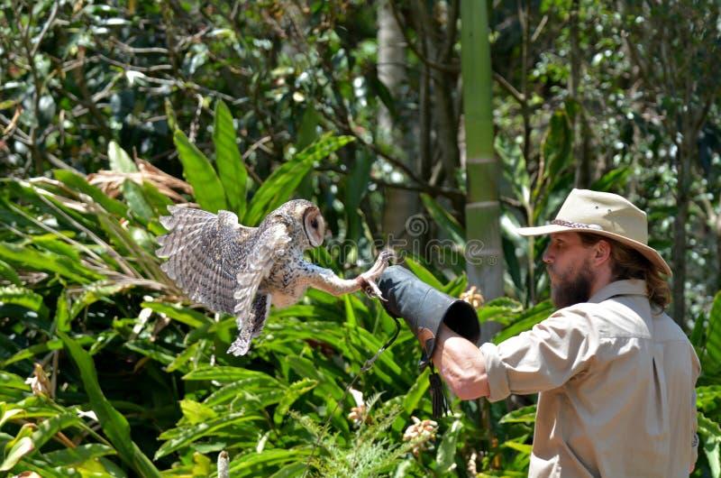 Australian masked owl stock photography