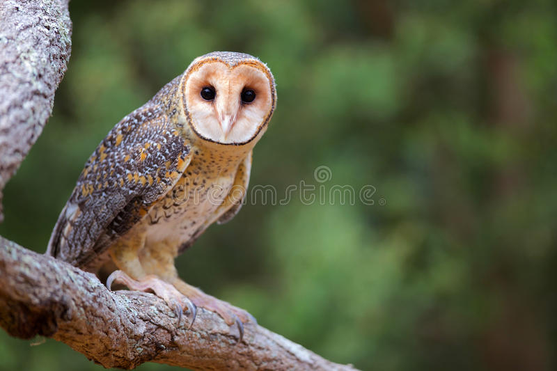 Australian Masked Owl. On a tree branch royalty free stock photo