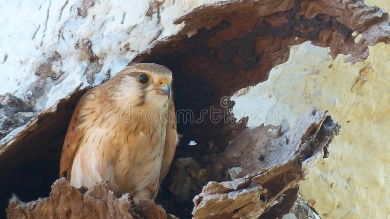 The Australian Nankeen Kestrel. The Nakeen Kestrel native to Australia can be found in open Grassland. The Nankeen Kestrel is of the Falcon genus. They hunt on royalty free stock images