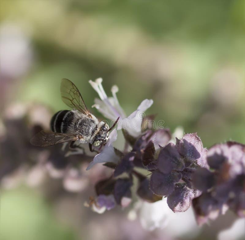 Australian native banded bee stock photography