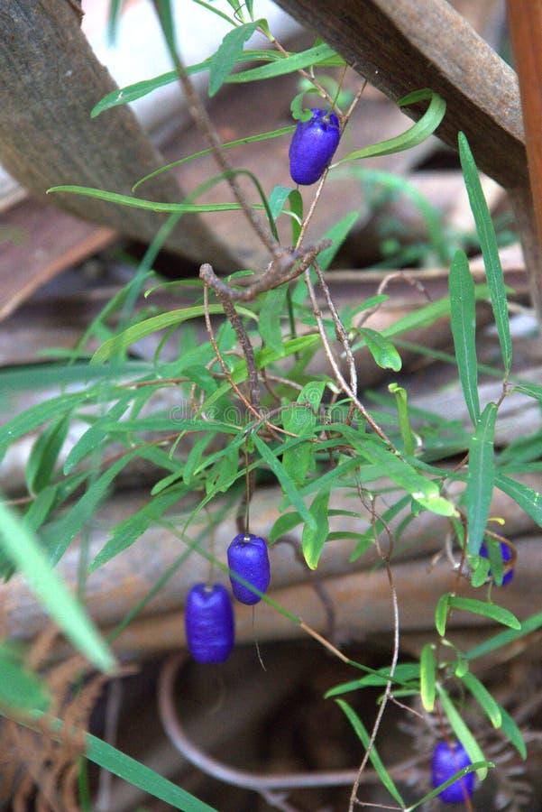 Australian native berries royalty free stock photos