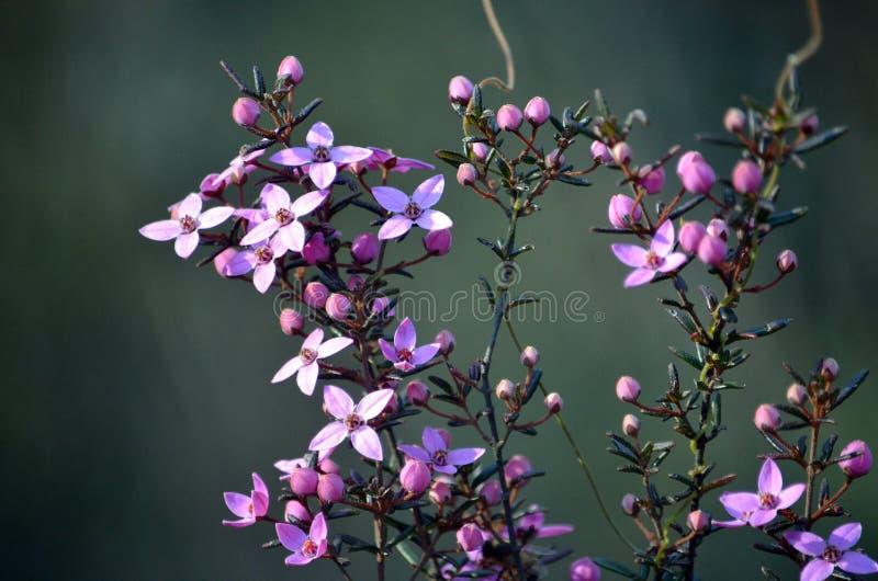 Australian native Boronia ledifolia flowers. Pink flowers and buds of Australian native Boronia ledifolia, growing in heath on the Little Marley fire trail royalty free stock photography