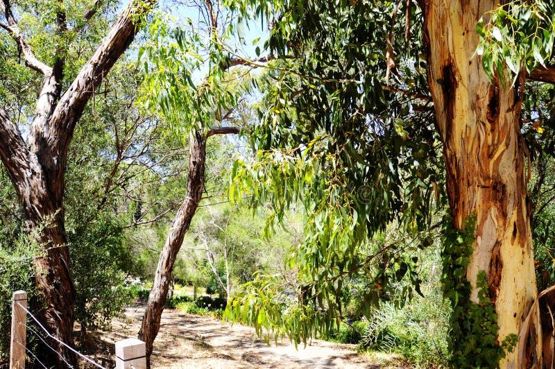 Australian native eucalyptus gum tree framing bush setting and walking trail. Australian native eucalyptus gum tree framing natural bush setting and walking stock image