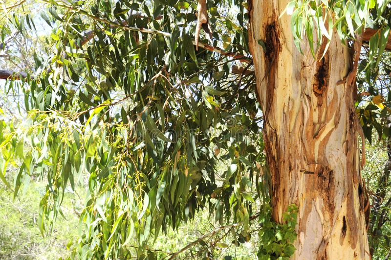 Australian native eucaplytus gum tree framing natural bush setting. Australian native eucaplytus gum tree framing natural bush setting on summer day in Belair royalty free stock image
