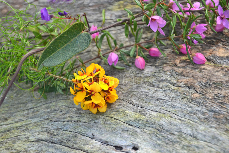 Australian native floral bouquet. With pink Boronia, purple Hardenbergia violacea vine (false sarsaparilla) and yellow and red native pea flowers (Phyllota royalty free stock photo
