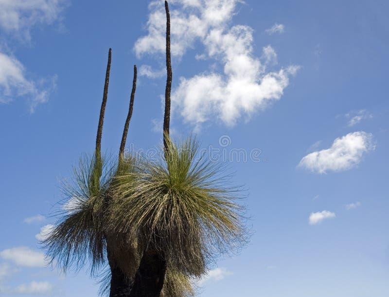 Australian native grass tree royalty free stock photo