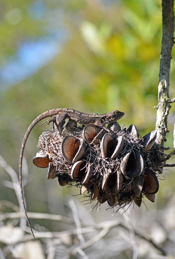 Free Australian Native Jacky Dragon Lizard On A Banksia Cone Stock Photography - 77977452