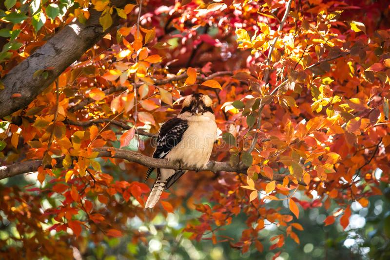 Australian native kookaburra kingfisher bird perched on branch of tree in full autumn fall golden yellow, red and orange leaves royalty free stock images