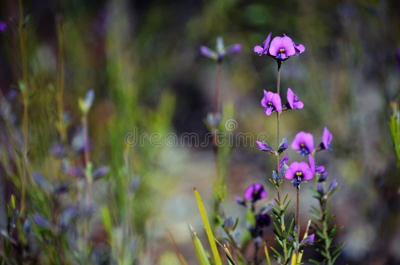 Australian native purple pea flower Mirbelia speciosa. Winter flowering small Australian purple pea flowers, Mirbelia speciosa, growing in Dharawal National Park royalty free stock images