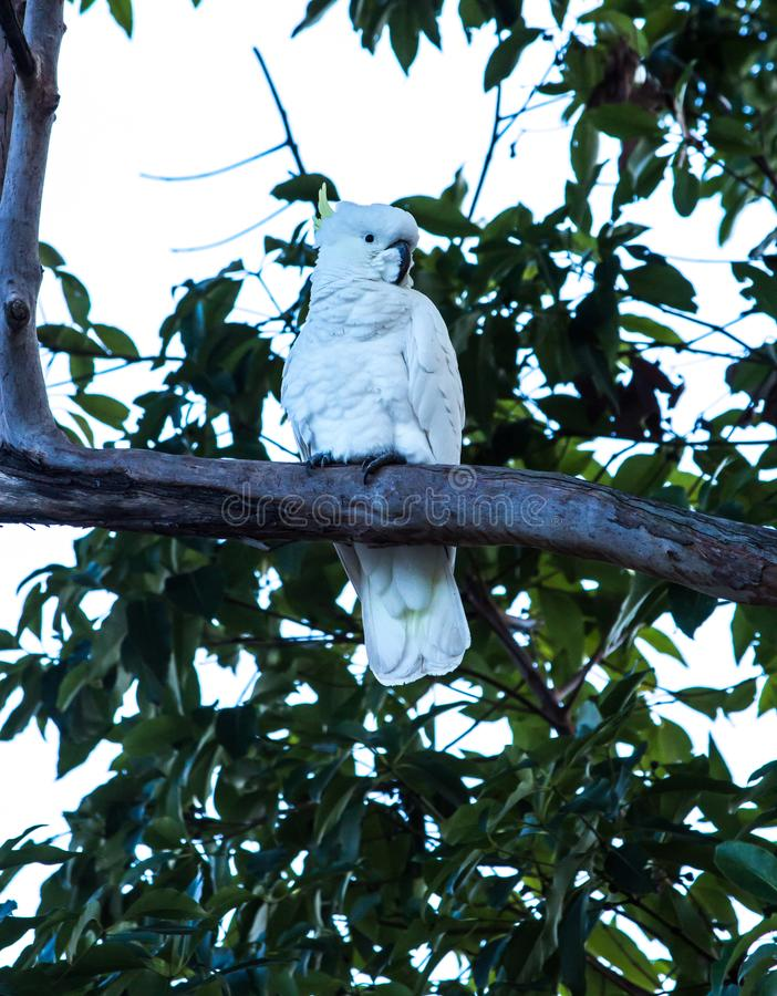 Australian native sulphur crested cockatoo parrot in tree stock images
