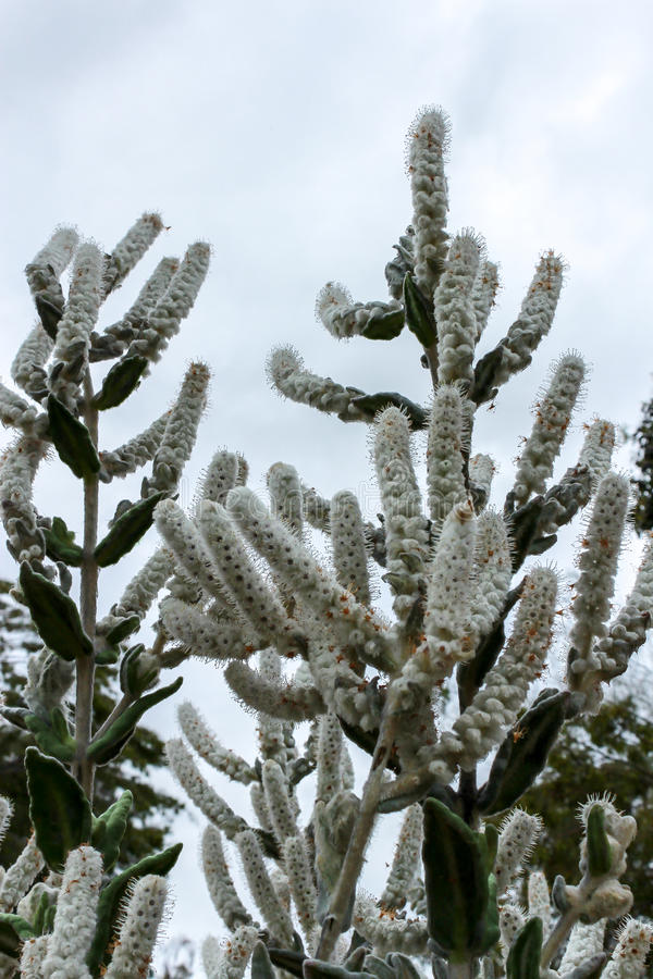 Australian native white lambs tail flowers royalty free stock images