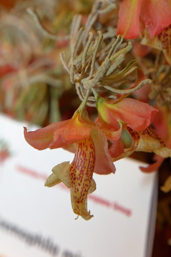 Australian Native Wildflower royalty free stock photography