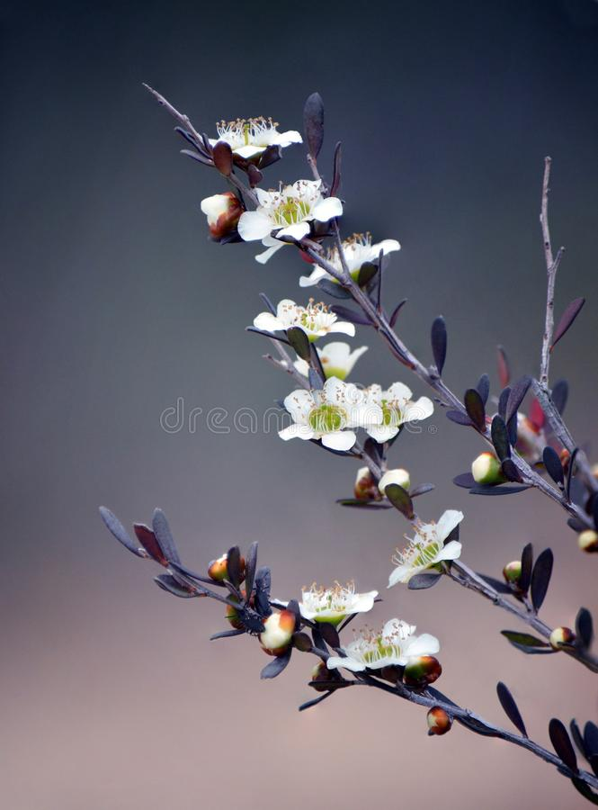 Australian native yellow tea tree flowers. Yellow Tea Tree, Leptospermum polygalifolium, flowering in spring, in the Royal National Park, Sydney, Australia. Also stock image