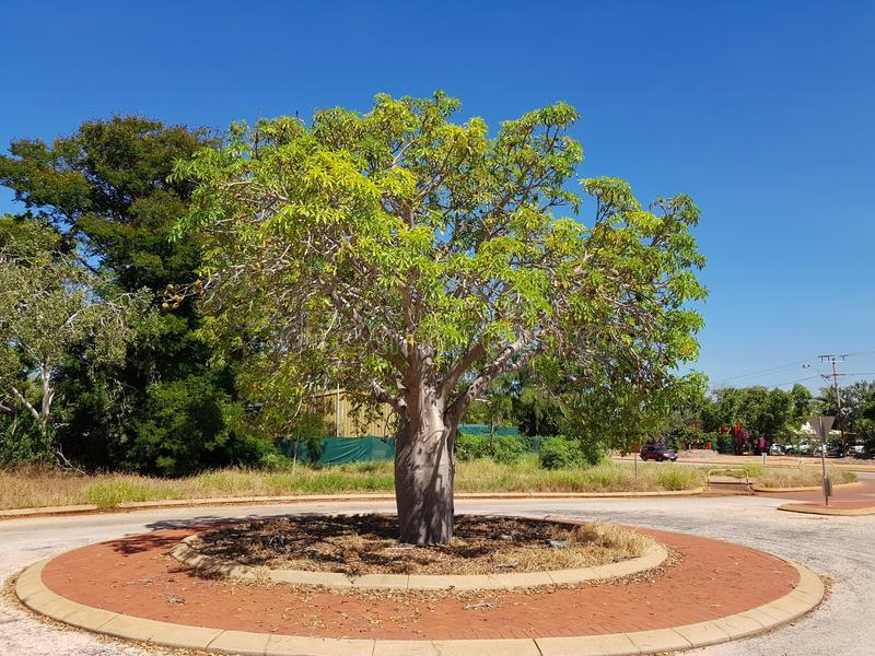 Boab tree in the street Broome outback Western Australia stock images
