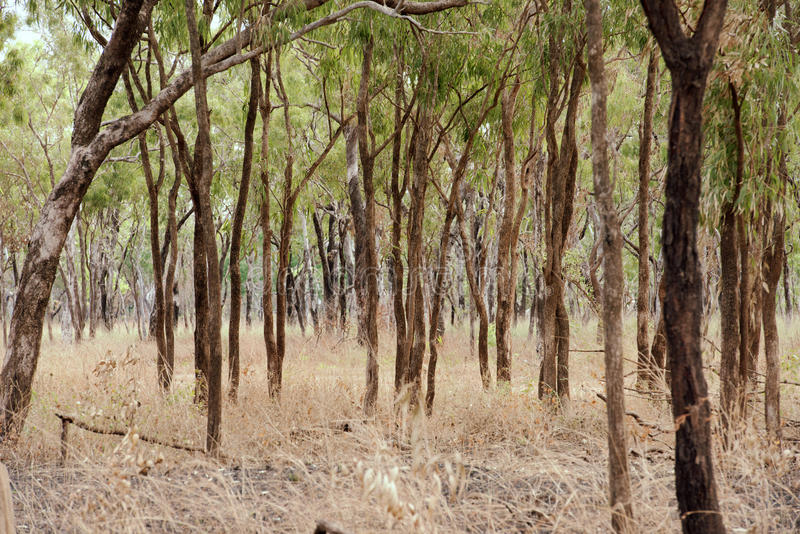 Australian Outback. Dry eucalyptus forest with long grass in an Australian outback cattle station, Cape York, Australia royalty free stock images