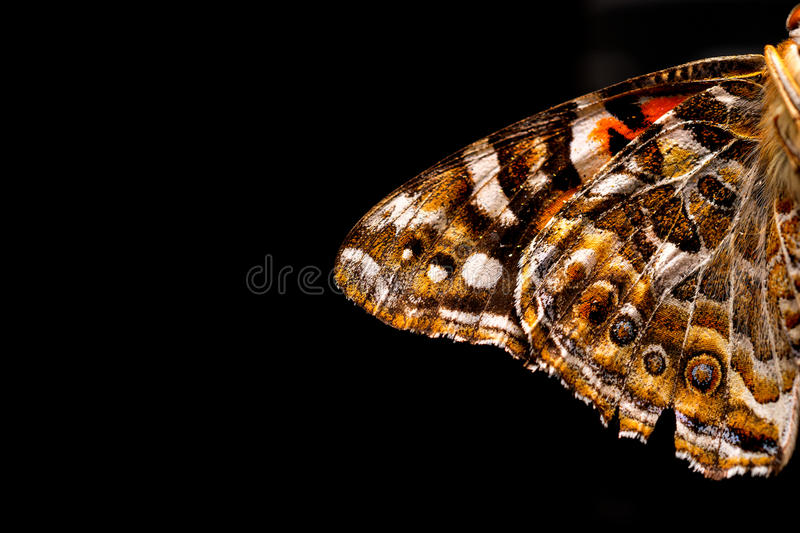 Australian Painted Lady Butterfly Wing stock images