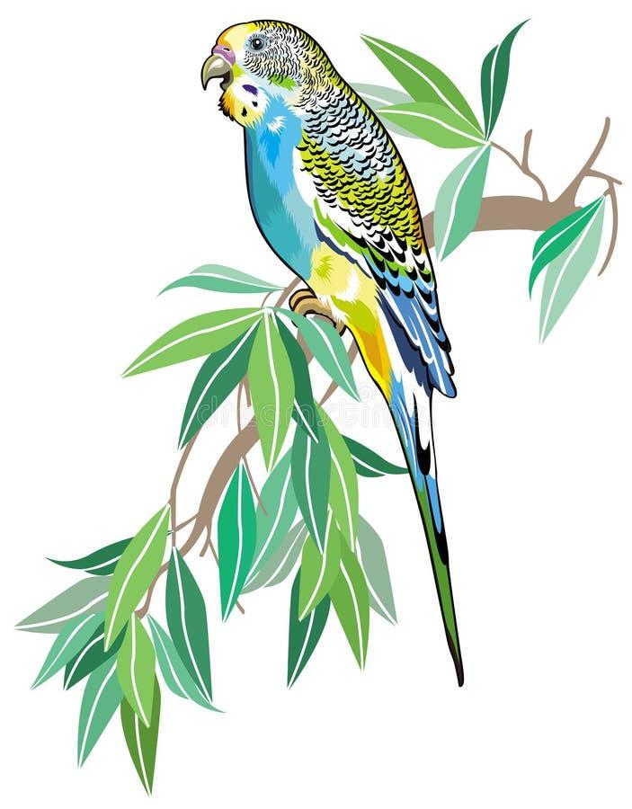 Australian parakeet. Budgerigar australian parakeet isolated on white background royalty free illustration