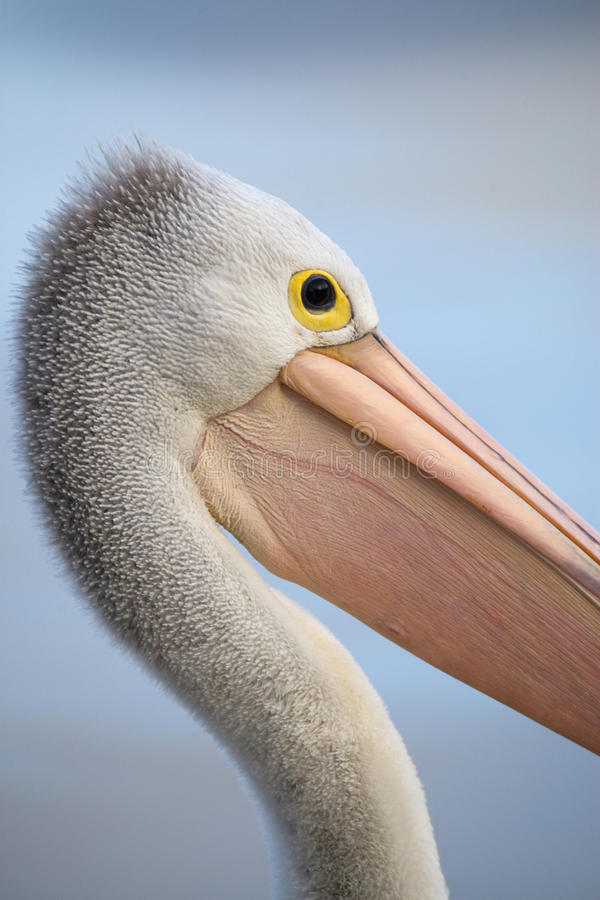 Download Australian pelican stock photo. Image of pelican, face - 11551002