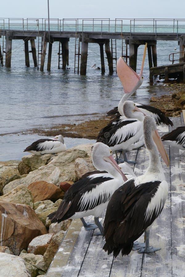 Free Australian Pelican Stock Image - 36637851