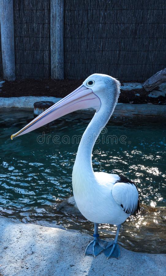 Australian pelican bird close up portrait standing on edge of water pond stock photography