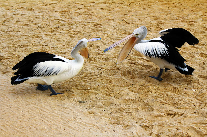 Australian Pelican fight royalty free stock images