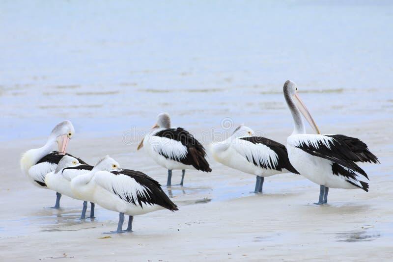 Australian Pelican, Pelecanus conspicillatus, group relaxing. An Australian Pelican, Pelecanus conspicillatus, group relaxing royalty free stock photo