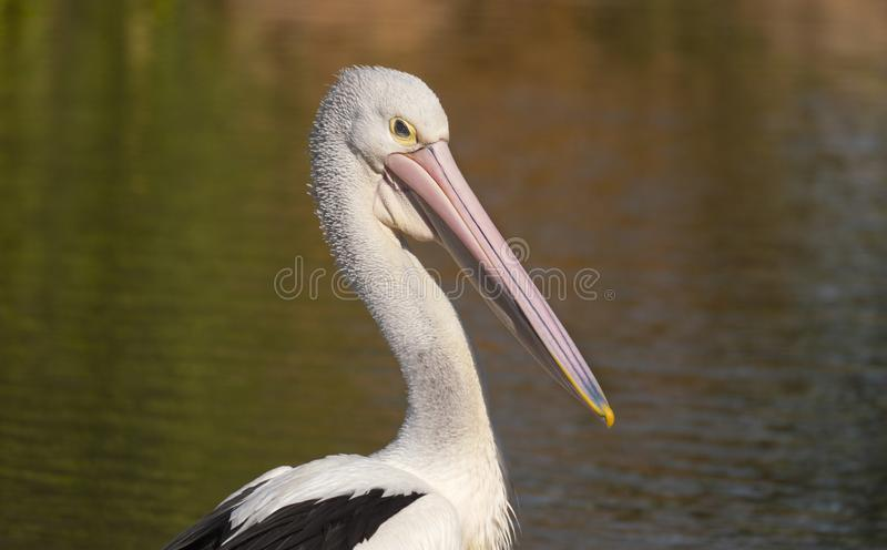 Australian Pelican portrait and beak stock image