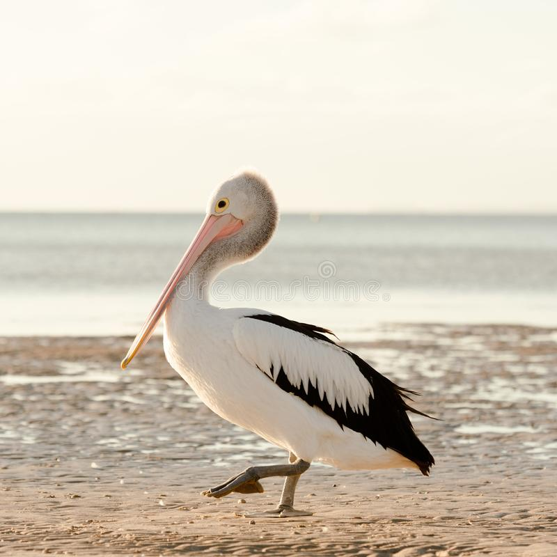 Australian Pelican portrait royalty free stock image