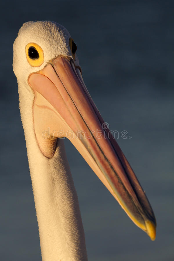 Australian Pelican In Soft Late Afternoon Light Stock Photo