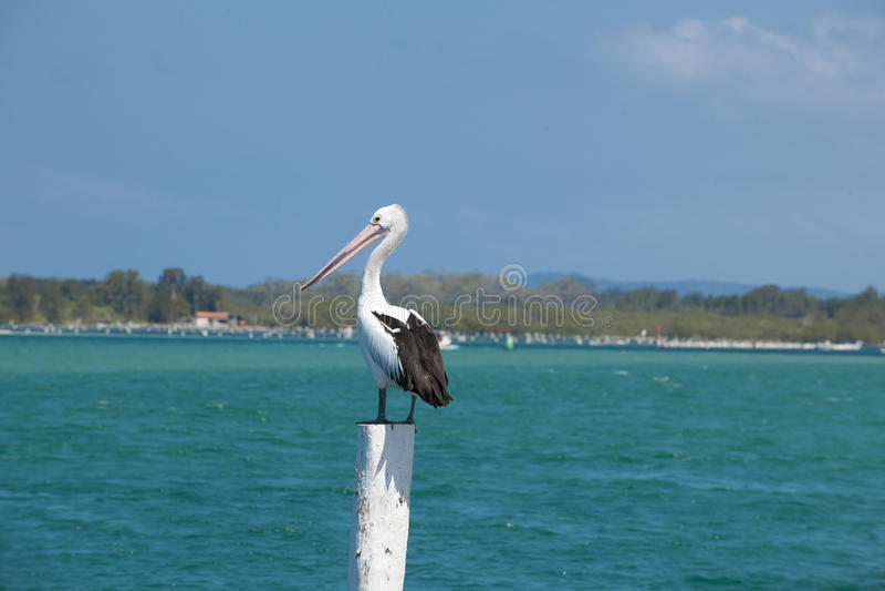 Download Australian pelican stock image. Image of beak, stand - 33412679