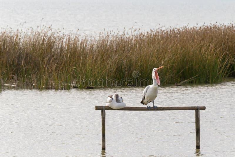Australian Pelican water bird perching on wooden pole yawning wi. Th bill widely opened, Lake Albert, Meningie, South Australia stock image