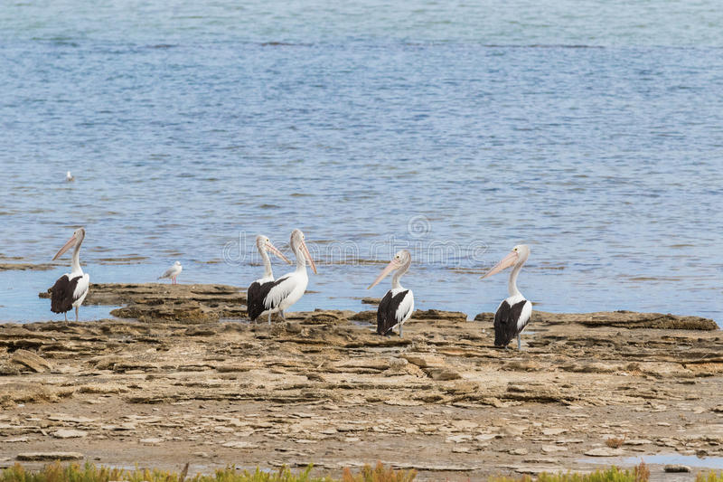 Australian Pelican water birds resting on waterfront at Coorong. Large Australian Pelican water birds with pale pink bill resting on waterfront at Coorong royalty free stock photo