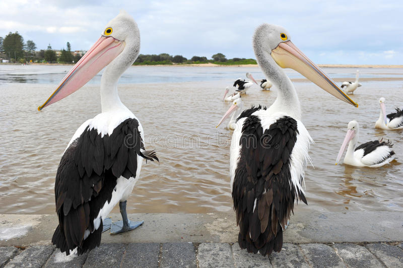 Download Australian Pelican, White Bird, Australia Royalty Free Stock Images - Image: 24691209